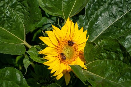 Bees on sunflower blooming amid foliage. Stock Photo