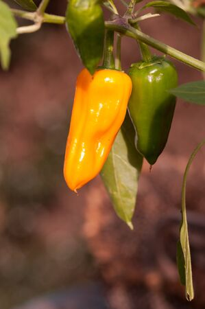Green and yellow chilli peppers growing on the chilli plant, variety Cheyenne.