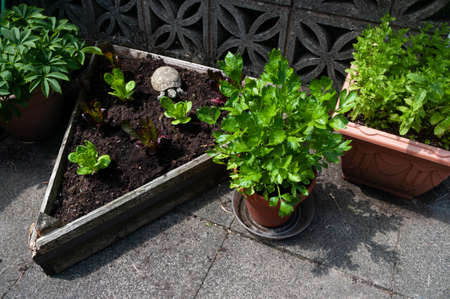 Celery growing in pot by triangular bed of lettuce plants and mint growing in a container. Tortoise garden ornament by lettuces. Banco de Imagens