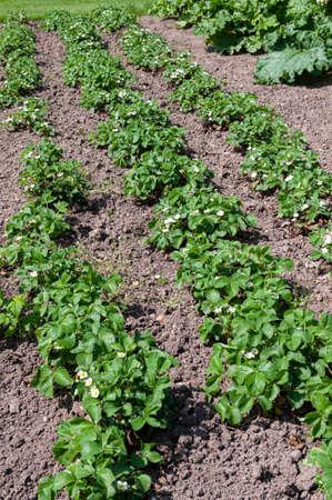 Strawberries growing in garden bed, in flower Stock Photo