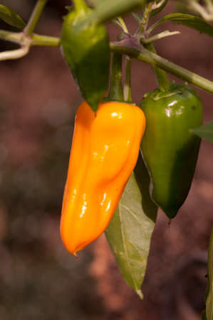 Green and yellow chilli peppers growing on the chilli plant, variety Cheyenne. Stock Photo - 150989490