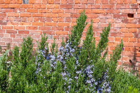 Rosemary plant growing in front of brick wall Stock Photo