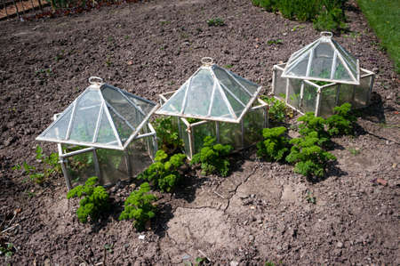 Three traditonal glass cloches in spring herb garden with parsley Stock Photo - 150989884