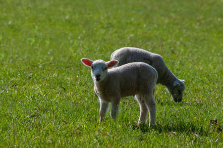 Young lamb facing the viewer in centre with another just behind.