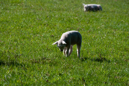 Lamb playing in field of green grass, being watched by another in the background.