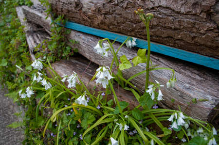 Allium triquetrum is a fragrant non-native plant which has become invasive. Other names include Snowbell, Three-cornered leek and wild garlic. The whole plant is edible.
