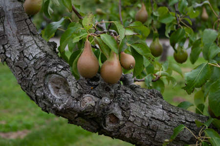 Large crop of ripe pears growing on the branch of a pear tree in an orchard. Stock Photo - 163447846
