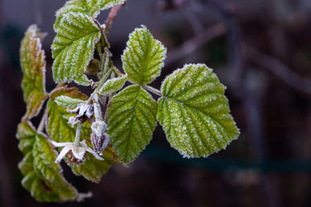 Hoarfrost on rasperry leaves and faded raspberry flowers in winter freeze. Stock Photo