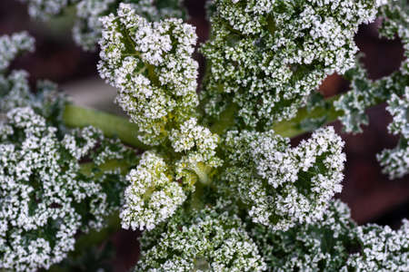 Frost and water droplets on curly kale leaves in garden.