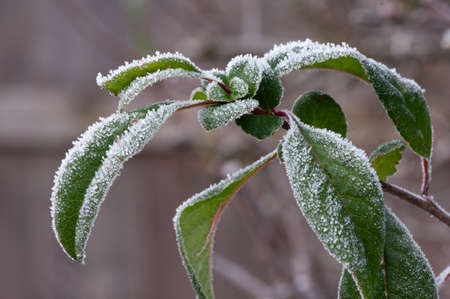Close up of leaves of flowering quince covered by winter hoar frost. Stock Photo
