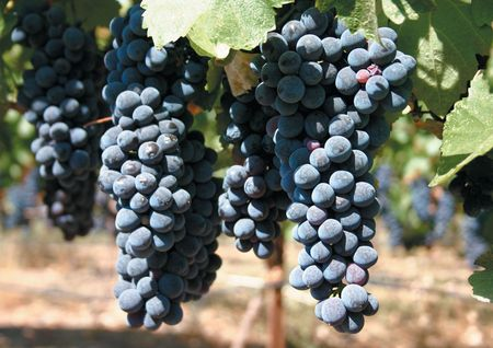 cabernet: Cabernet uvas en los vi�edos Foto de archivo
