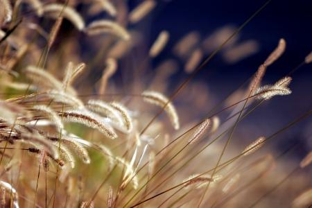 Primer plano de la puesta de sol de otoño en la hierba de luz (enfoque superficial).  Foto de archivo - 336263