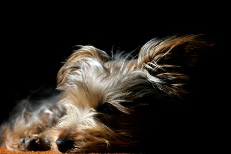 Silky Terrier puppy sleeping in sliver of light (shallow focus). Stock Photo