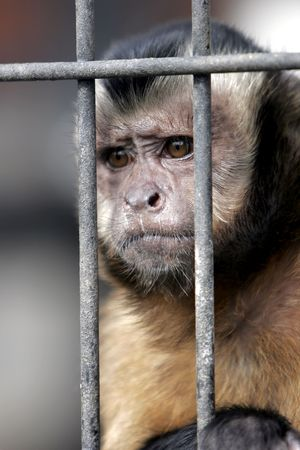 Close-up of a Hooded Capuchin Monkey contemplating life behind bars in a big city zoo, captive setting (shallow focus). Stock Photo