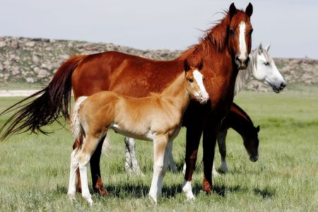 Mother Horses With Young Ones. Stock Photo