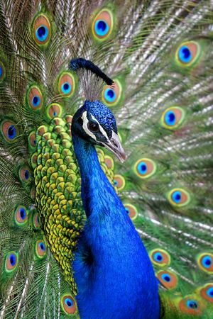 Colorful Blue Ribbon Peacock in full feather (color saturated, shallow focus).