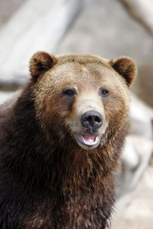 Close-up of Grizzly Bear smiling in large zoo, captive setting (shallow focus).
