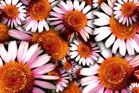 Floral background of herbal remedy - Purple Cone Flower (Echinacea)