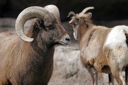 Rocky Mountain Bighorn Sheep at a big city zoo (Ram on left, shallow focus)