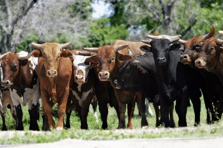 A group of young bulls blocks a rural road in Western America (can also be a financial
