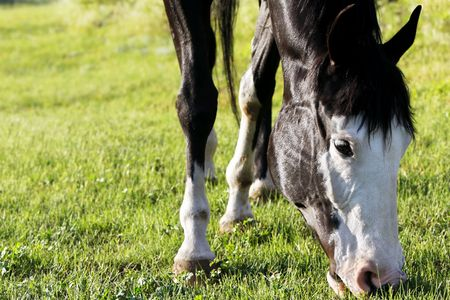 Closeup image of a black and white paint horse grazing on a green pasture in bright sunset light (focus point on horse head). photo