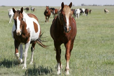large group of animals: A pair of mares leads the rest of the herd on wide-open land in the American west (focus point on foreground horses).