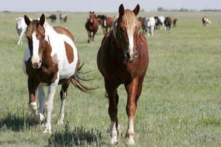 Un par de Yeguas lleva el resto de la manada en tierra aire en el oeste estadounidense (punto de enfoque en caballos de primer plano). Foto de archivo - 5852551