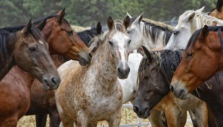 Centre d'attention dans un troupeau de chevaux Banque d'images - 9013909