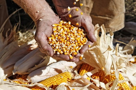 Seed corn pouring into and spilling out of a farmer's hands. Stock Photo