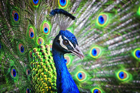 Portrait of a beautiful and colorful Blue Ribbon Peacock in full feather while it was trying to attract the attention of a nearby female. Stock Photo