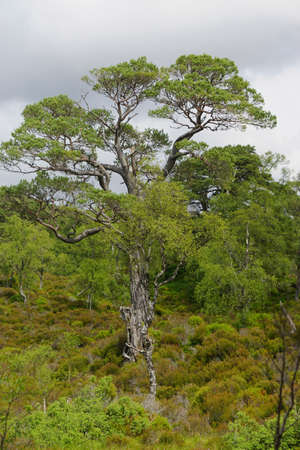 Glen Affric National Nature Reserve, Scotland: Scots pine (Pinus sylvestris L.) trees in Glen Affric, often described as the most beautiful glen in Scotland.