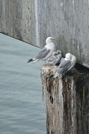 Homer, Alaska, USA: Mew gulls (Larus canus) nurturing their young in a nest on the side of the pier in Homer, Alaska.