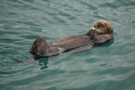 Kachemak Bay, Alaska, USA: A sea otter (Enhydra lutris), an entirely aquatic marine otter of North Pacific coasts, floating on its back.