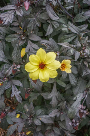 Closeup of a Bishop of York Dahlia -- yellow flower with a red center on a plant with very dark leaves. Stock Photo
