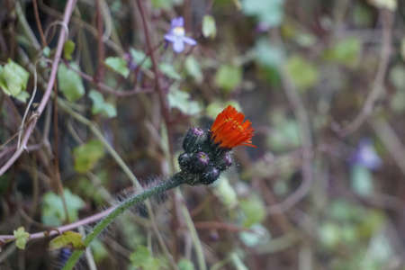Scotland, UK: A red thistle flower with a cluster of buds surrounding it.