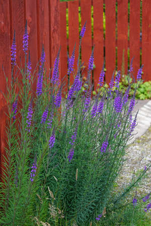 Scotland, UK: Linaria purpurea (Purple Toadflax) -- purple wildflowers against a red picket fence in the Scottish Highlands. Stock fotó