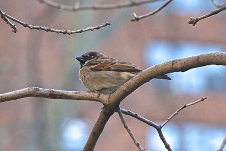 House sparrow (Passer domesticus). The house sparrow is associated with human habitations, and can live in urban or rural settings.