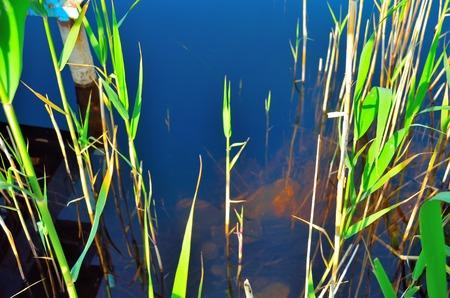 freshwater aquarium plants: Underwater scene with green grasses in sunlight