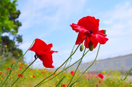 Red poppies on a background of blue sky photo