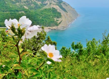 recorded: Rose garden on sea coast recorded Small Utrish Russia