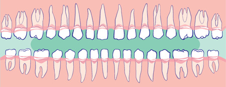 lower teeth: The upper and lower teeth, the human jaw