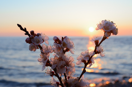 Cherry blossoms against the blue sky background