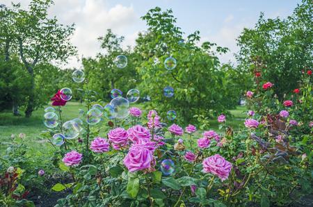 背景シャボン玉プリンク公園のバラ