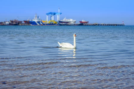 White Swan on the Black sea. Reklamní fotografie