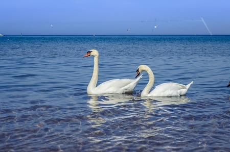 Two white swans swim in the Black sea on a Sunny day.