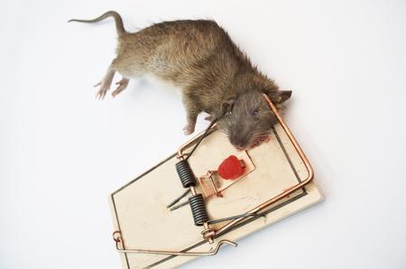 mouse: Rat In Wooden Rat Trap, Dead