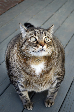 Fat Domestic Cat Looking Up Stock Photo