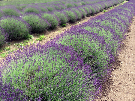 Lavender Bushes Growing in Rows, With Dark Purple Flowers Stock Photo