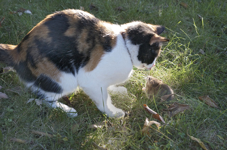Calico Cat Facing A Rat in the Grass Stock Photo