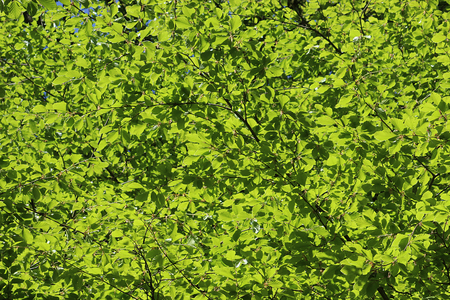 shinning leaves: Sun shinning through the leaves in the trees high up